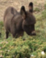 Apollo the mini donkey eating mums flowers