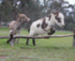 Dusty showing his agility at Donkey Tales Farm cottages