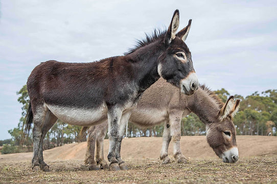 Daisy the miniature Donkey with her best friend Sunshine