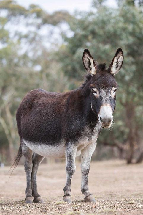 Daisy our female Shrek donkey at Donkey Tales Farm Cottages