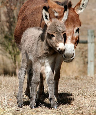 Donkey Tales Tippy, our loved breeding jack.