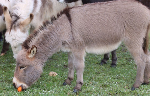 Donkey Tales Farm Cottages, Tippy beiin so quick at getting some carrot!