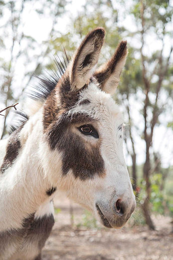 A regal donkey is our Dusty