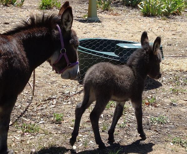 Apollo the mini donkey
