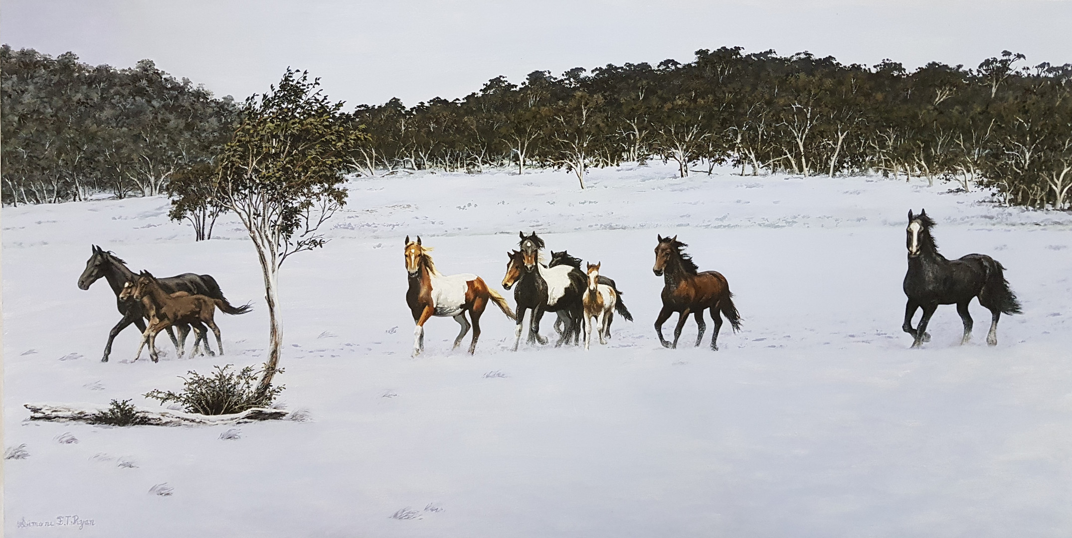Brumbies of the Barrington Tops