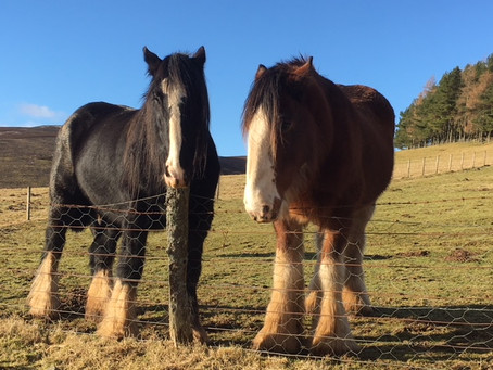 Did You Know...?  Clydesdale Horses