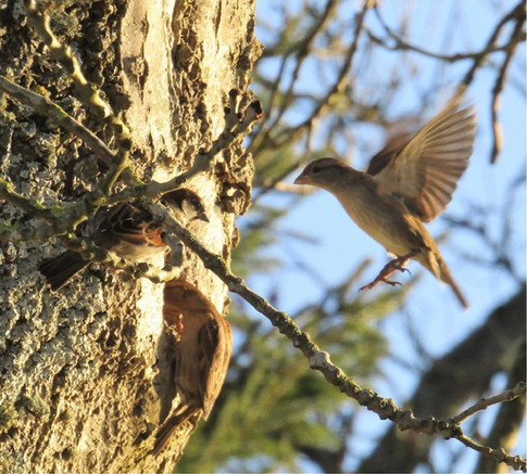 Sparrows nesting