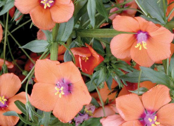 Anagallis, Wildcat Mandarin