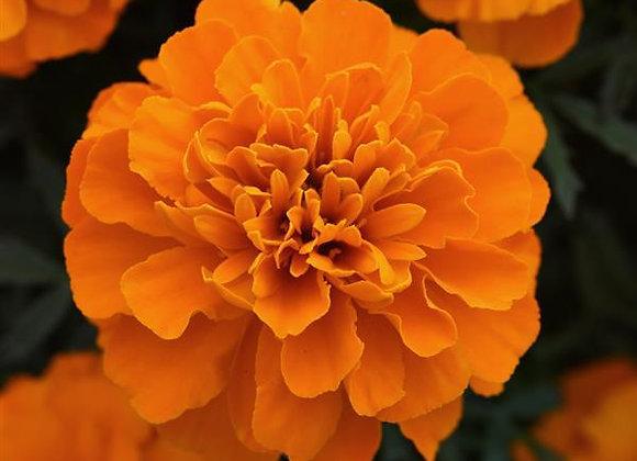 Marigold, Bonanza Orange 6-Pack