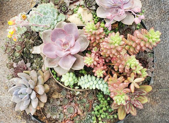 Large Succulent Bowl, PL0090