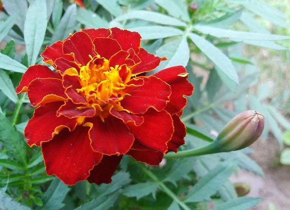 Marigold, Safari Red 6-Pack