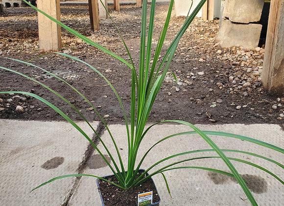 Grass, Dracaena Spike