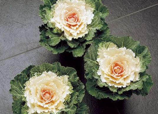 Flowering Kale, Songbird White