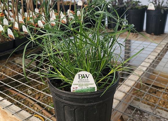 Grass, Baby Tut