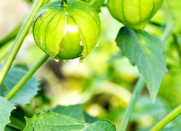 Tomatillo in 1 gallon Pot