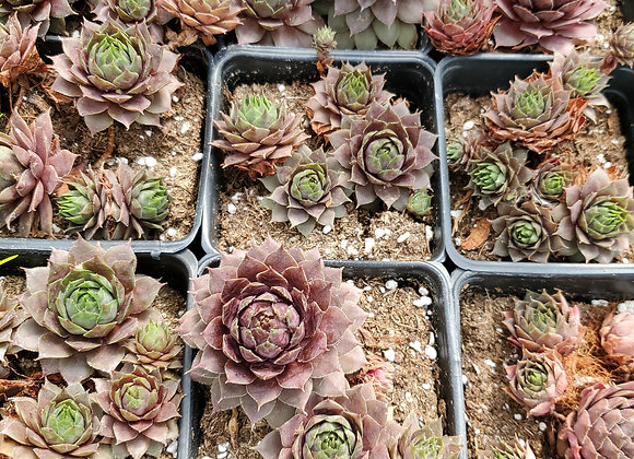 Hardy Hens and Chicks