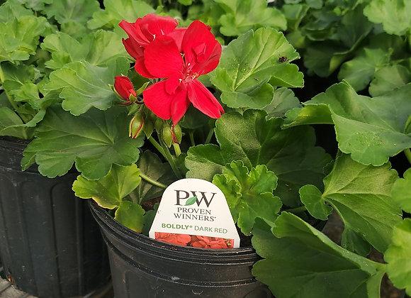 Geranium, Boldly Dark Red