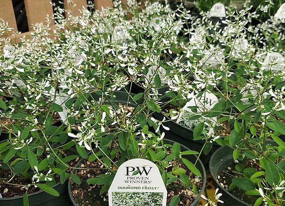 Euphorbia, Diamond Frost