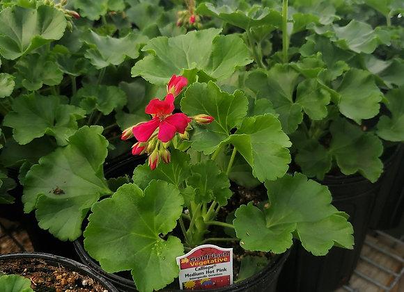 Geranium, Calliope Medium Hot Pink