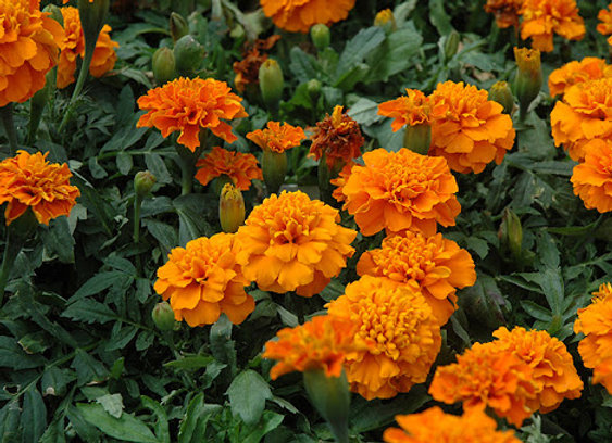 Marigold, Janie Deep Orange 6-Pack
