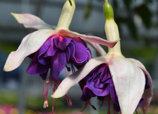 Fuschia, Giant Deep Purple