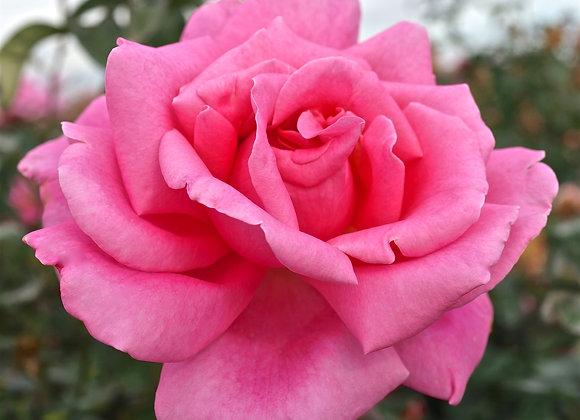 Rose, Perfume Delight