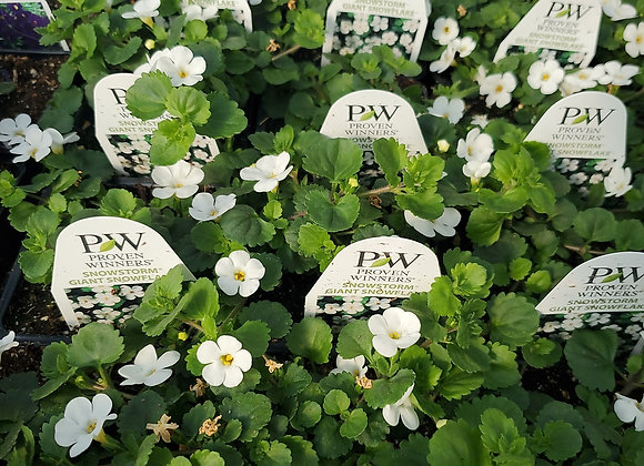 Bacopa, Snowstorm Giant Snowflake