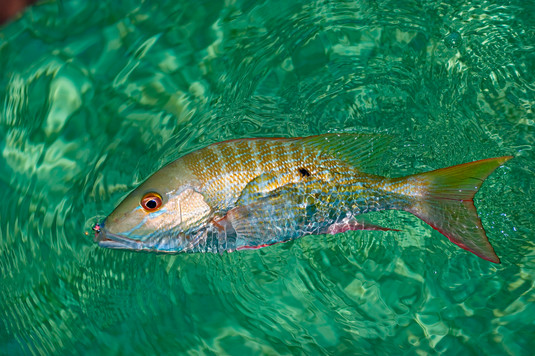 Flats Mutton Snapper on Fly