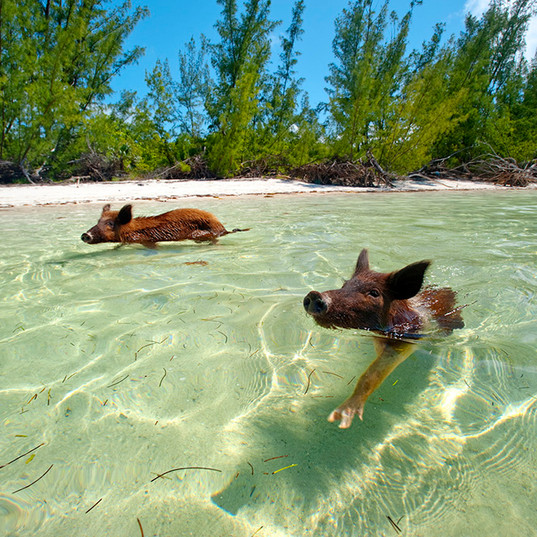 Swimming Pigs of Abaco