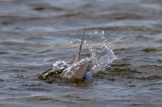 Tailing Bonefish