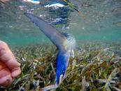 Underwater Bonefish Release