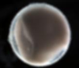 FireShot Capture 114 - Giant Oarfish Egg