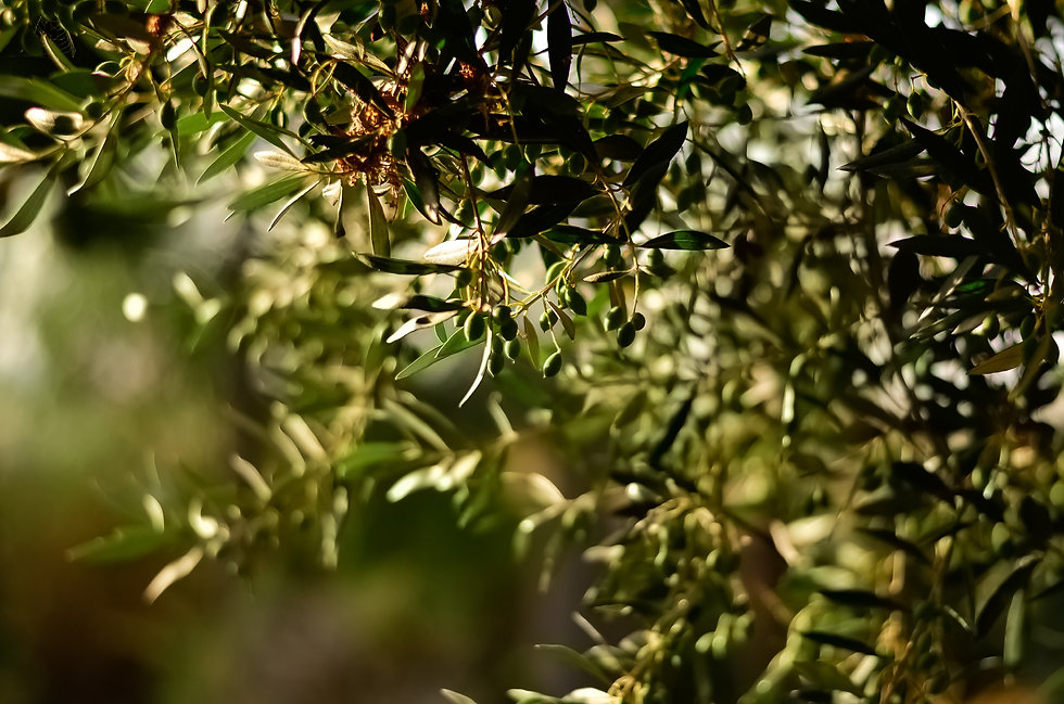 olive tree branches sunny.jpg
