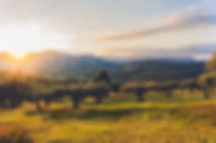 olive grove sun.jpg