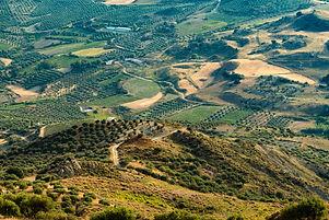olive tree landscape Douglas Williams.jp