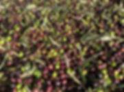 pile of olives ripe John Cameron.jpg
