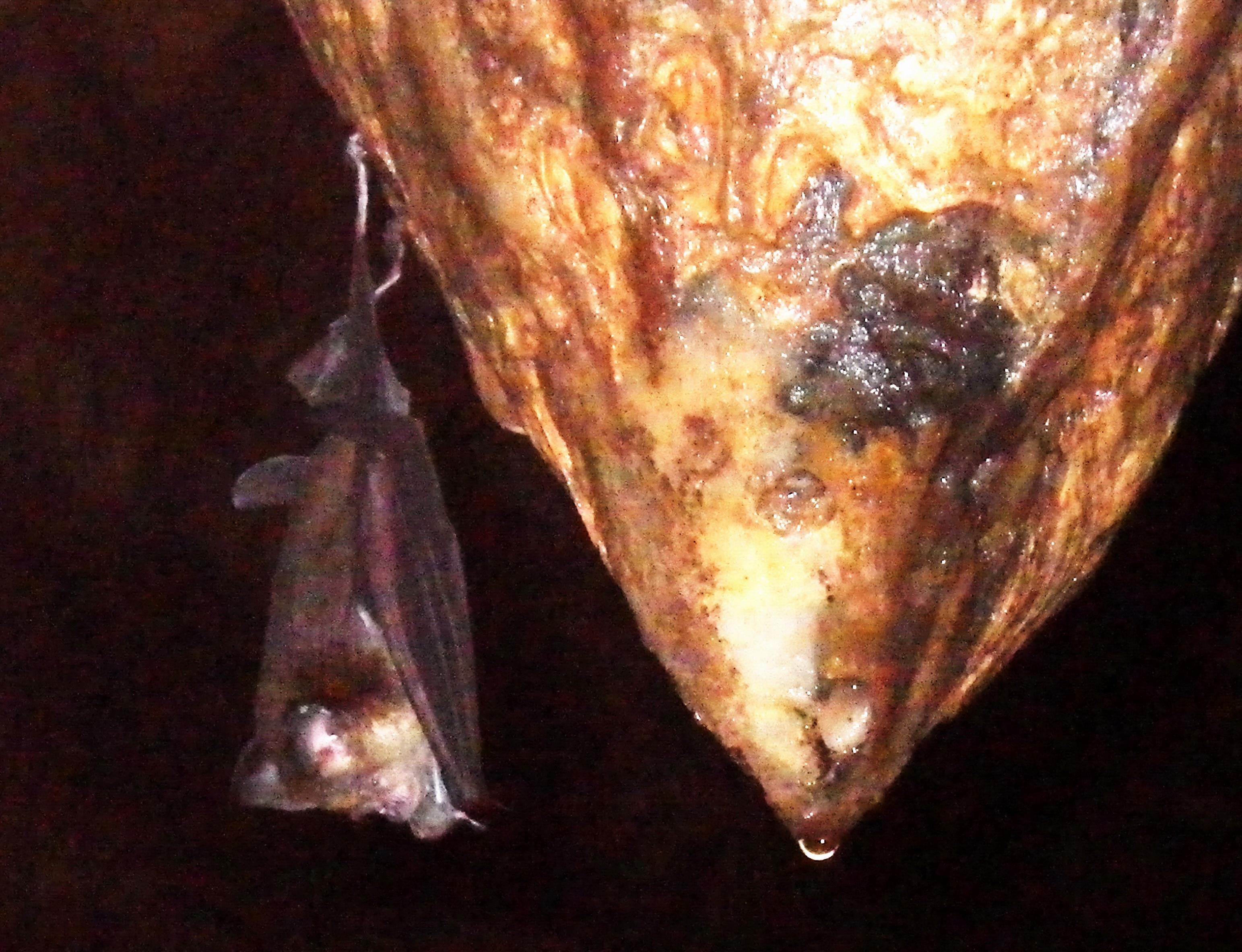 Asian wrinkle lipped bat