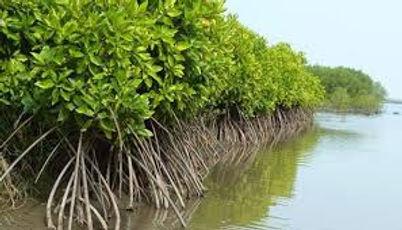 mangrove coastal defence.jpg