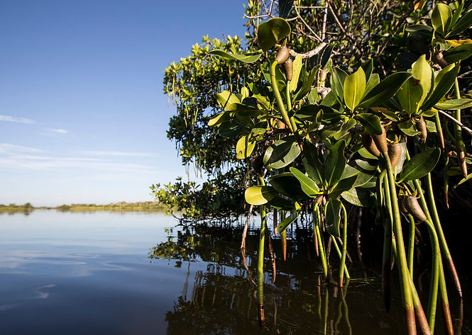 mangrovepropagule.jpg