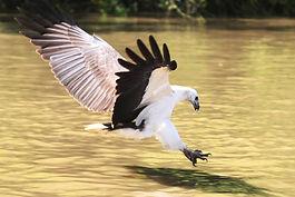 wb-sea-eagle-pounce-800x600.jpg