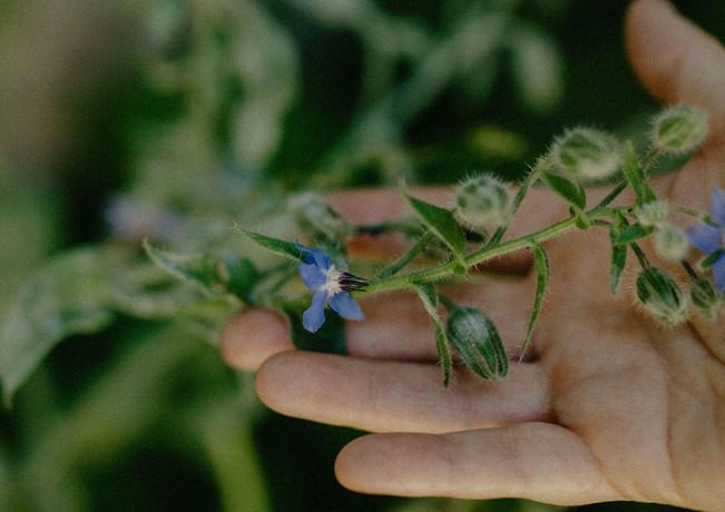 Fleur de bourrache