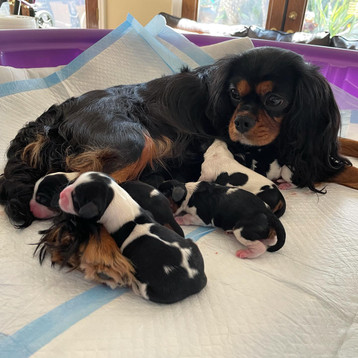Disney Royalty Litter -Just Minutes Old.