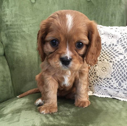 Ginger's Puppy Picture