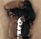 Six Healthy, Adorable Puppies