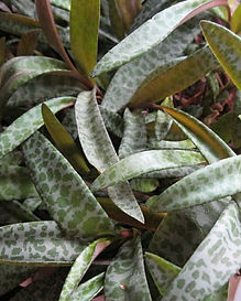 silver squill.jpg