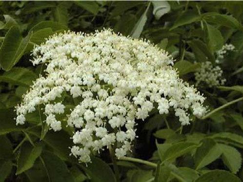 Elder Flower Hydrosol