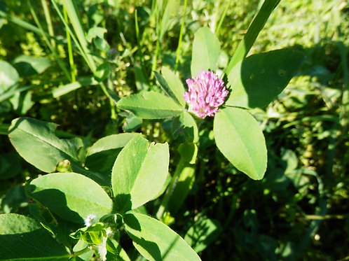 Red Clover Blossom Hydrosol