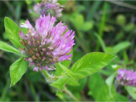 Red Clover for Health and Beauty