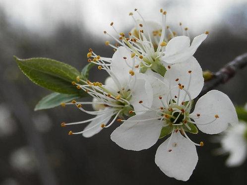 Wild Plum Hydrosol