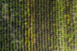 Aerial view of an outdoor hemp grow in S